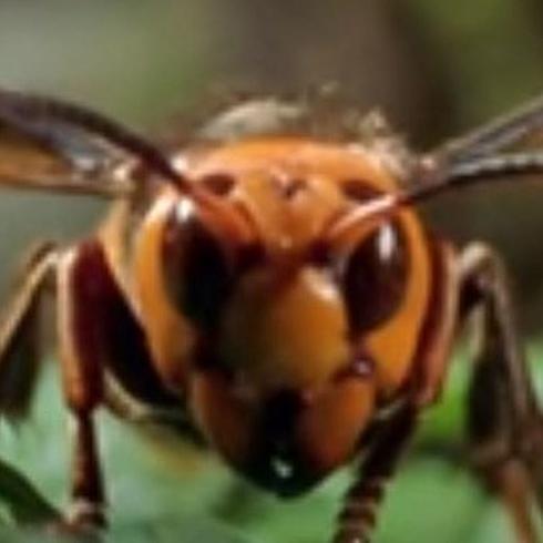 Murder Hornet For Hire